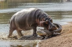 This mama hippo is protective – and that's no croc! Amateur photographer Ken Haley captured startling images of a hippo biting a crocodile at Lake Panic in Kruger National Park, South Africa. Kruger National Park, African Animals, African Safari, Animals Amazing, Animals Beautiful, Aggressive Animals, Frida Art, Fauna, National Geographic