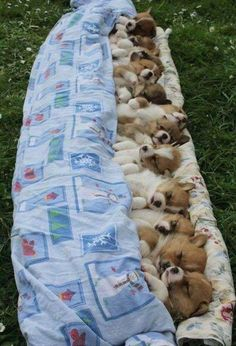 Single friend Single friend – Animals and pets … – Super süße tiere Baby Animals Pictures, Cute Animal Pictures, Animals And Pets, Fluffy Animals, Animal Pics, Cute Dogs And Puppies, Baby Dogs, I Love Dogs, Welsh Corgi Puppies