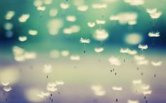 Wallpaper for download. floating dandelions falling hd wallpaper background
