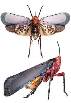 Kalidasa nigromaculata
