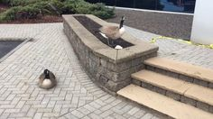 Canada geese nest near front entry of CNY building
