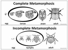 Great activity for complete and incomplete metamorphosis.  Students sort 24 different insects based on their life cycle.