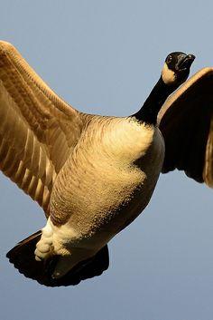 Waterfowl in flight