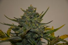 This is Skunk. It is a powerful sativa.
