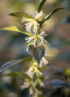 Buy sweet box Sarcococca confusa - Sweetly scented, pure white flowers December to March: pot: Delivery by Crocus