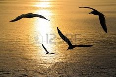 bird in flight sea: Seagulls flying positions on sunset. Stock Photo