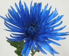 Anastasia Painted Blue - Disbuds/Mums - Chrysanthemum - Flowers by category | Sierra Flower Finder