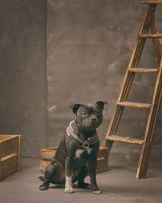 @studiohodne posted to Instagram: Nå er det litt over ett år siden Taake kom til oss. Men på dagen 1 år så hadde vi en liten fotoshoot. Han har blitt en skikkelig fin gutt. Utrolig artig hund, selv om jeg til tider blir gal av han :P   #makebackdrop #canvasbackdrop #handpaintedbackdrops #DIYbackdrops #dogphotography #hundefotograf #hund #hundefoto #hundefotografering #staffordshirebullterrier #staff #staffy #staffiesofinstagram #staffygram #sarpsborg #fotografisarpsborg #fotograf… Staffordshire Bull Terrier, Family Dogs, Studio, Fine Art, Cute, Animals, Animales, Animaux, Kawaii