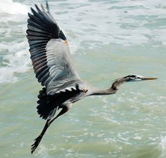 flying grey heron...if we are lucky,will see them today ...Ah,that would be wonderfull !