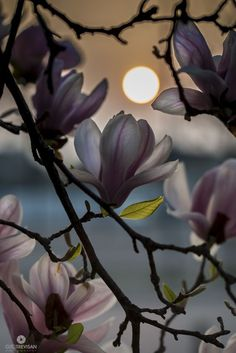 magnolia trees at sunset *** Gito Trevisan