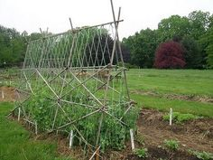 bamboo trellis ideas for peas, beans, raspberries and other plants that need to be supported