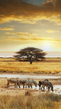 Zebra herd, Namibia, Africa