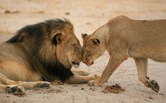 Cecil the lion's final photograph - Imgur