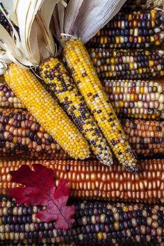 Indian Corn by Janny Dangerous