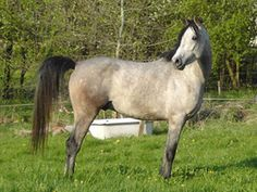 The Hungarian Gidran horse breed was developed by crossing a Hungarian horse with an Arabian, producing a Hungarian Anglo-Arab breed, named the Gidran.