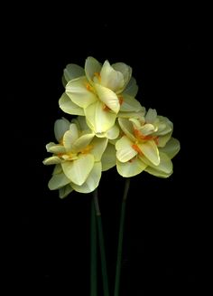 https://flic.kr/p/siD8b2 | 56631.01 Narcissus