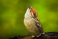 Chipping Sparrow, River Valley, Edmonton, Alberta