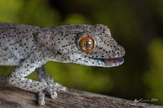 Eastern Spiny-tail Gecko by R. Francis