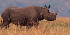 SIGN & SHARE #PETITION - Protect Black Rhinos from Trophy Hunters - The Dallas Safari Club has auctioned off a hunting permit for a Namibian black rhino. The winner of that auction needs to obtain an import permit from the U.S. Fish and Wildlife Service to bring the rhino they kill back to the U.S.  Urge the U.S. Fish and Wildlife Service to deny the application for the import permit. With fewer than 5,000 left in the wild, black rhinos need your help.