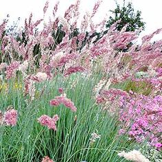 Melinus nerviglumis 'Pink Champagne' (from P. Allen Smith)