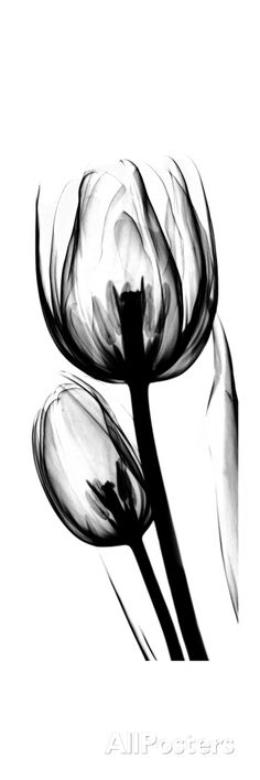 Tulip A52 Premium Giclee Print by Albert Koetsier at AllPosters.com