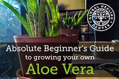 Besides adding a nice touch to your home, aloe vera boasts a wide range of health benefits. Get tips on how to grow an aloe vera plant.