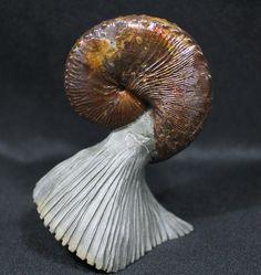 World Class, Red Iridescent Hoploscaphities Ammonite From South Dakota.
