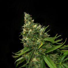 Semillas feminizadas de cannabis de la variedad Burunda. Genética que combina sativa con nuestro macho dominante - Sakan Seeds