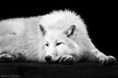 lazy wolf by Wolf Ademeit on 500px