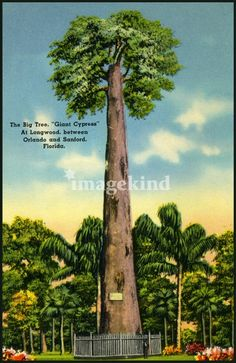 Found this great vintage image of the Senator, Central Florida's beloved Cypress Tree