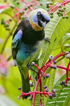 Golden-hooded Tanager by Alan Gutsell on Flickr