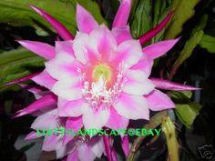 Epiphyllum hybrid 'Grace Ann'
