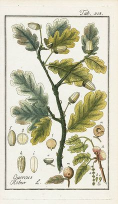 Quercus robur, Oak – oak leaf/acorn botanical illustration – Johannes Zorn, Icones Plantarum Medicinalium 1779