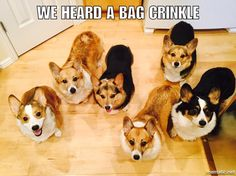*Crinkle all bags in attempt to summon these corgis*
