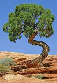 Junipers: The Curliest Trees on Earth big bonsai Juniper Tree, Juniper Bonsai, Unique Trees, Old Trees, Nature Tree, House Nature, Tree Forest, Tree Leaves, Plantation