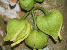 Guanábana y su Cultivo, Plantel