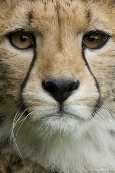 Cheetah beauty.
