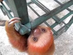 Sloths not only look cute, they also sound cute! @Jaclyn R