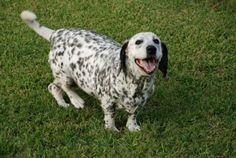 16 Unreal Basset Hound Cross Breeds You Have To See To Believe Basset Dog, Basset Hound Mix, Corgi Mix, Bassett Hound, Hound Dog, Unique Dog Breeds, Rare Dog Breeds, Popular Dog Breeds, Dalmatian Mix
