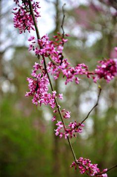 Signs of Spring Redbud Trees in Bloom @ http://hickoryridgestudio49.blogspot.com