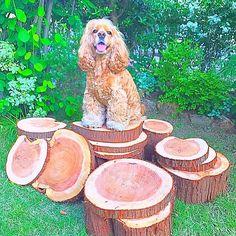 《日曜大工🌿丸太切り🍔💕》 丸太を沢山チェーンソーで切ってきた🙌🌈 乾燥させてインテリア作り🤤💕 #handmade#diy#dryflower#natural#organic#photjenic#wood#interiordesign#follow#followme#follow4follow#リメイク#手作り#ものづくり#ドライフラワー#丸太#切り株#日曜大工#dayoff#macherie#likes#americancockerspaniel#american#cockerspaniel#instadog#dogstagram#アメコカ#コッカー#愛犬