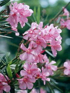 Oleander brings Mediterranean mystique to your yard. More shrub suggestions: http://www.bhg.com/gardening/plant-dictionary/shrub/oleander/?socsrc=bhgpin112613oleander