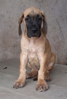 Fawn Great Dane Puppies Pictures
