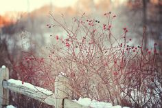 snow and red berries