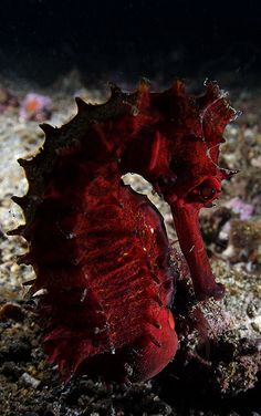 red thorny seahorse
