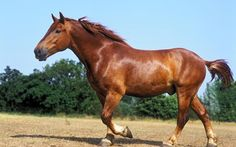 The breed can trace its ancestry back to the great warhorses of the Middle Ages, although its modern variant traces back to a stallion foaled near Woodbridge in 1768, owned by Thomas Crisp of Ufford and simply known as 'Crisp's horse'.