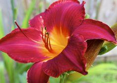 gardening tips daylily