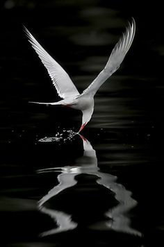 the very moment: Arctic Tern - Miguel Lasa