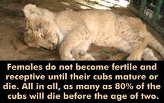 #AfricanLions #LionsFacts #WildAnimals #WildLife #Reproduction #Cubs #AnimalsKnowledge