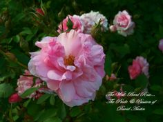 David Austin rose...Photo: Connie Shearer From our garden.